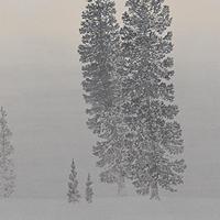 雪原に立つ杉